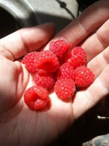 Enough Raspberries for fresh eating